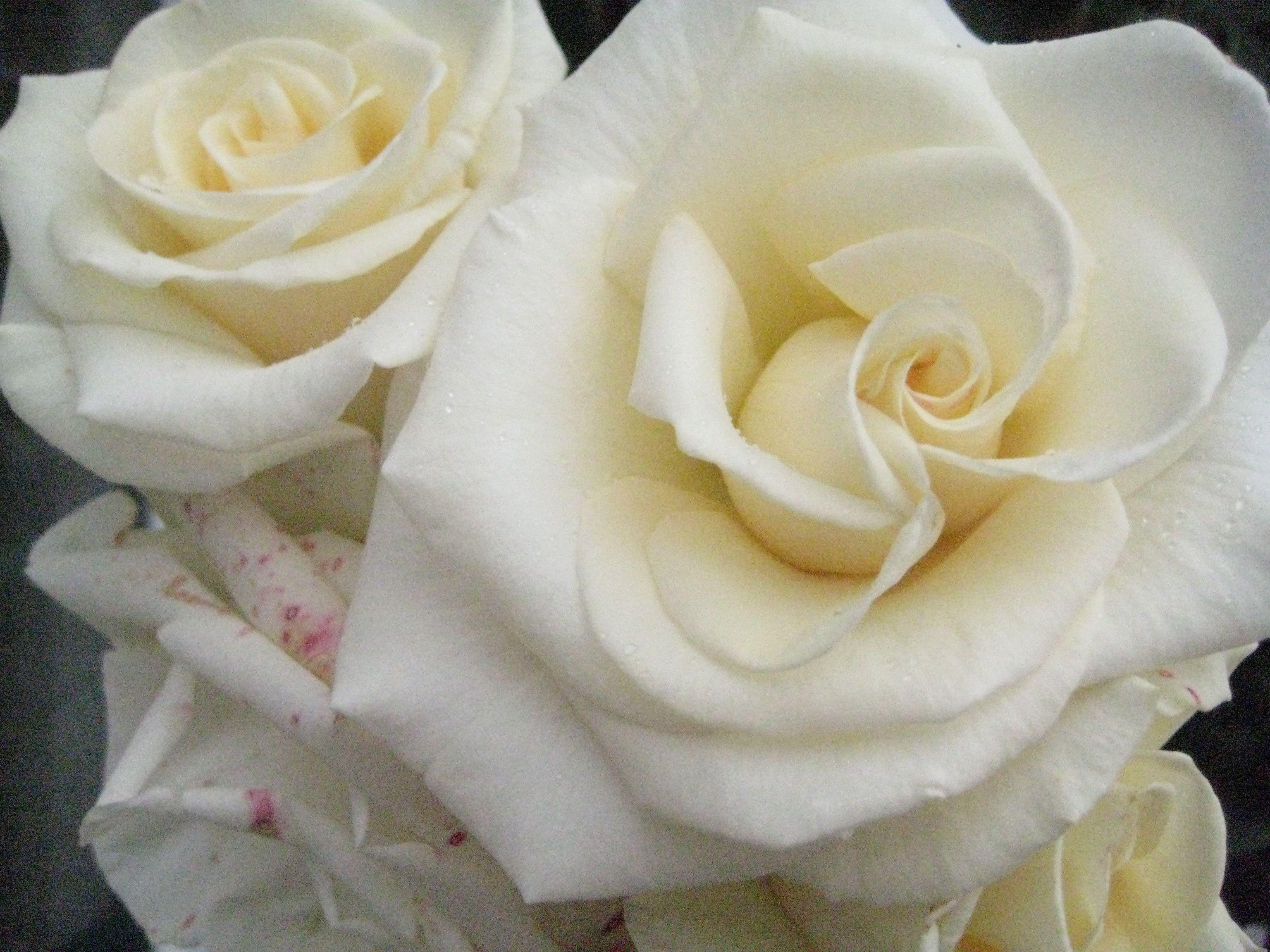 Rosas blancas para aportar sosiego